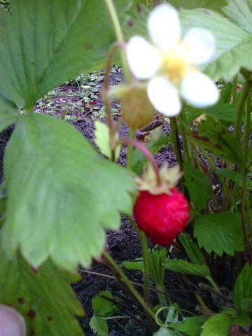 цветок и ягодка