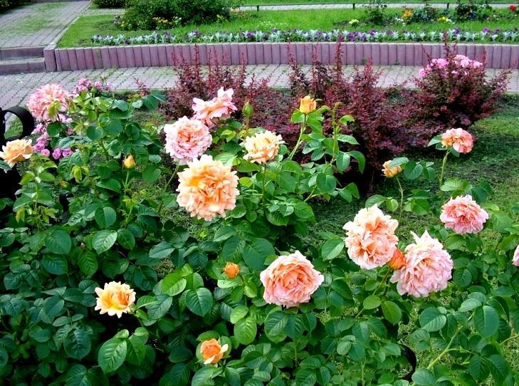 Роза полька на дачном участке фото
