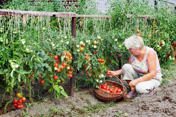 сорта помидор, томаты