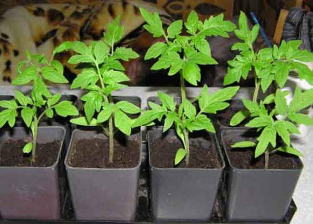 Рассадный способ выращивания помидоров 64