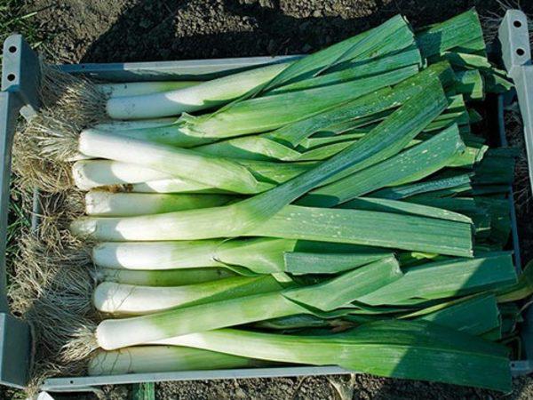Как правильно вырастить лук порей