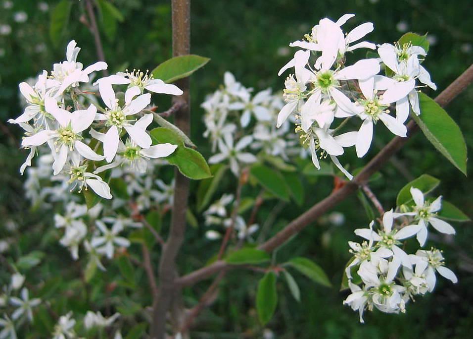 Сиреневые цветы виды