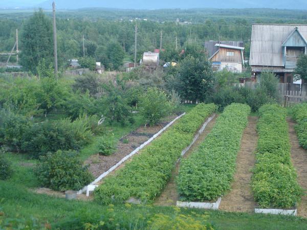 Удивительные урожайные грядки Игоря Лядова DSC00120 (600x450, 109Kb)