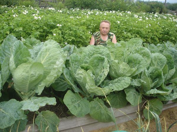 Удивительные урожайные грядки Игоря Лядова DSC00015 (600x450, 113Kb)