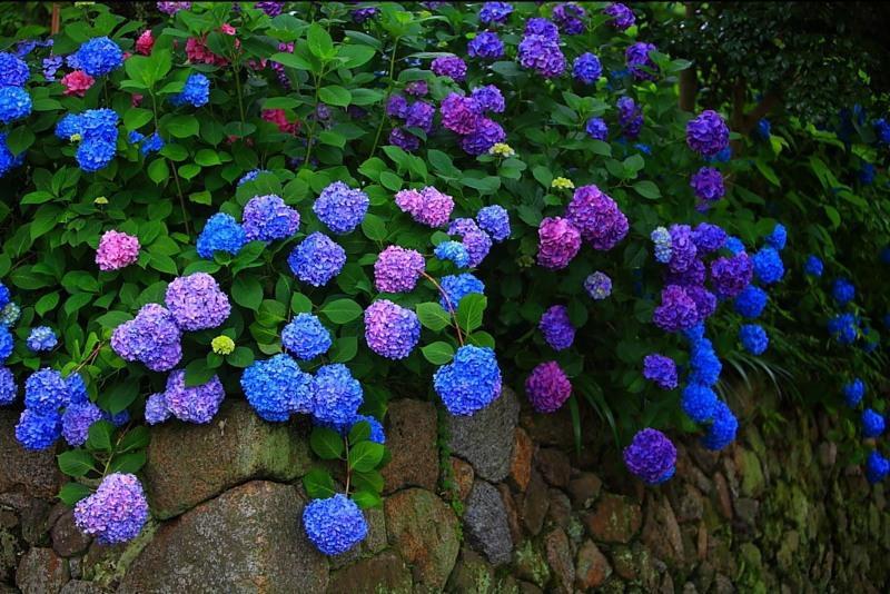 Почему не цветет гортензия в саду и в домашних условиях