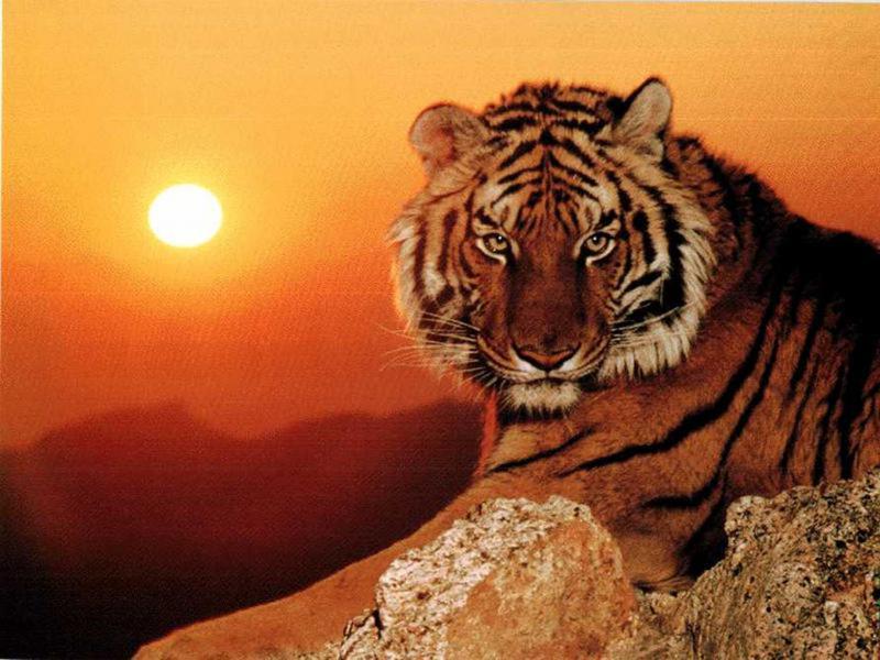 Выпьем, картинки с тигром с надписей