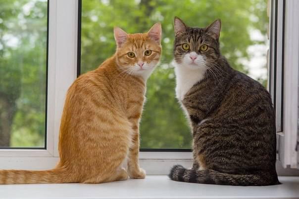 Как подружить двух кошек в одной квартире? Породы и характеры кошек