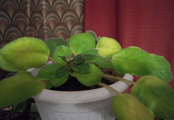 фиалка желтые листья