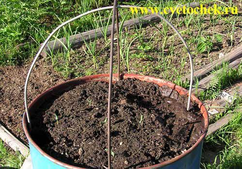 Выращивание огурцов в бочке: как получить урожай без хлопот