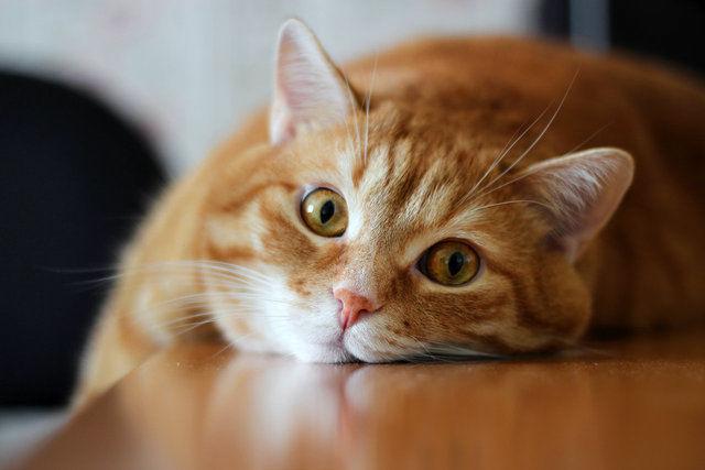 Как лечить лишай у кошки и кота в домашних условиях