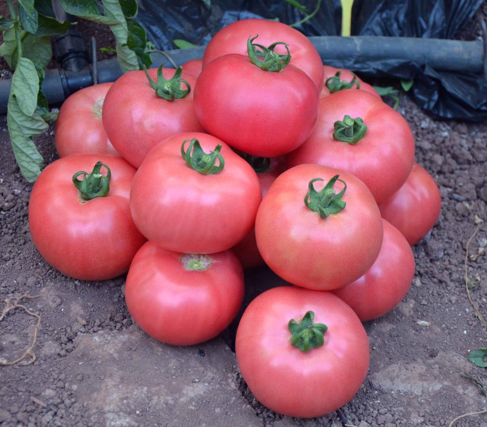 Сорта розовых томатов с фото и описанием