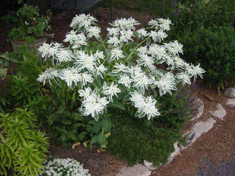 Белая невеста цветок