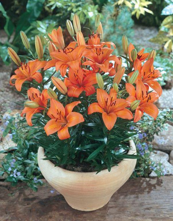 Можно выращивать лилию в домашних условиях