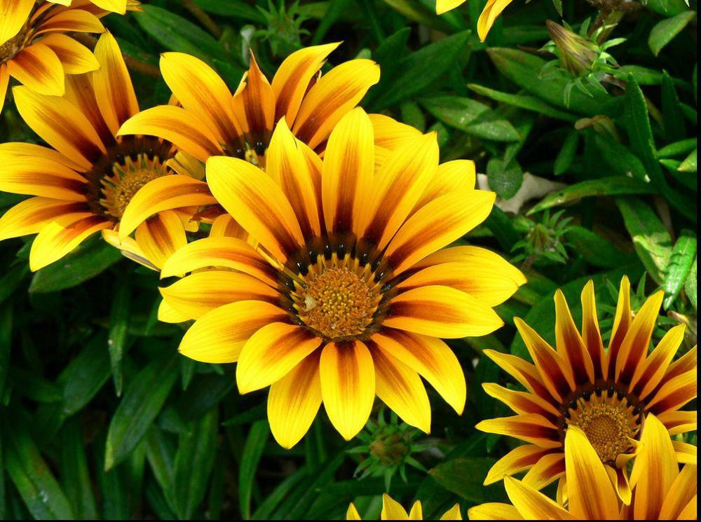 Однолетние цветы для бордюров » Женский Мир